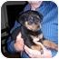 Photo 1 - Rottweiler Mix Puppy for adoption in Malibu, California - Robbie