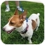 Photo 3 - Jack Russell Terrier Mix Dog for adoption in Sugar Land, Texas - Cricket