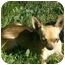 Photo 2 - Chihuahua Dog for adoption in Ft. Collins, Colorado - Bruce