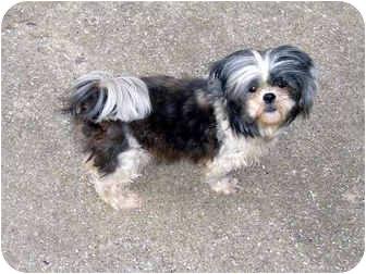 Shih Tzu Dog for adoption in Kokomo, Indiana - Princess Tzu