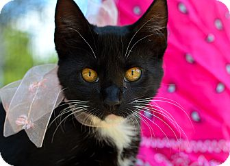 Domestic Mediumhair Cat for adoption in Baton Rouge, Louisiana - Miss. Whiskers