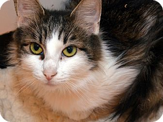 Maine Coon Cat for adoption in Brooklyn, New York - Kim