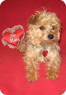 Yorkie, Yorkshire Terrier/Poodle (Toy or Tea Cup) Mix Dog for adoption in Easton, Illinois - Lizzie