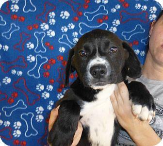 Mastiff/Labrador Retriever Mix Puppy for adoption in Oviedo, Florida - Pogo