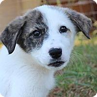 Adopt A Pet :: Napa - Allentown, PA