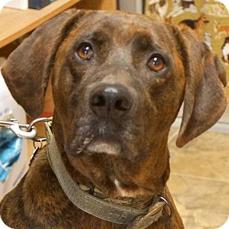 Plott Hound Mix Dog for adoption in Sprakers, New York - Red