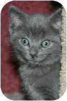 Russian Blue Kitten for adoption in Arlington, Virginia - Chelsea