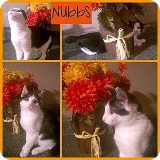 Manx Cat for adoption in Spring Valley, New York - Nubbs