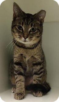 Domestic Shorthair Cat for adoption in Parma, Ohio - Thumbelina