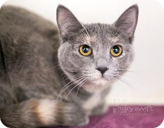 Domestic Shorthair Cat for adoption in Reisterstown, Maryland - Sara