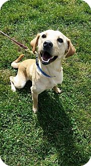 Labrador Retriever/Collie Mix Dog for adoption in Florence, Kentucky - Misty