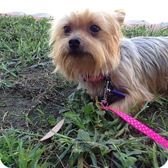 Yorkie, Yorkshire Terrier Mix Dog for adoption in Los Angeles, California - Daisy