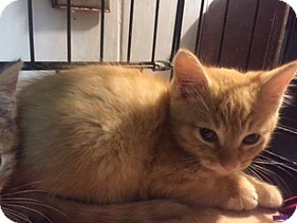 American Shorthair Kitten for adoption in Forest Hills, New York - Magnus