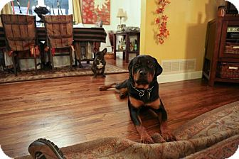 Rottweiler Dog for adoption in Rexford, New York - Quinta