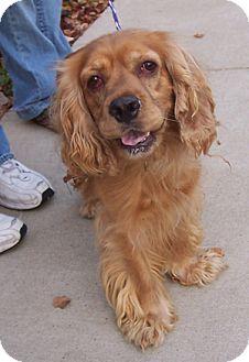 Cocker Spaniel Dog for adoption in Libertyville, Illinois - Todd