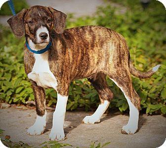 Plott Hound/Border Collie Mix Puppy for adoption in Red Bluff, California - Bobby