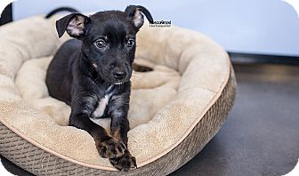 Chihuahua/Basenji Mix Puppy for adoption in Atlanta, Georgia - Burton
