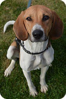 Treeing Walker Coonhound Dog for adoption in Ogden, Utah - Allie