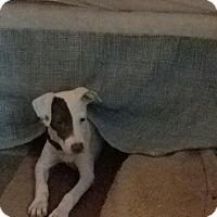 Adopt A Pet :: Pinky - Brick, NJ