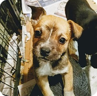 Cattle Dog/Shepherd (Unknown Type) Mix Puppy for adoption in Chicago, Illinois - ACORN(ADOPTED!)