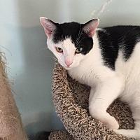 Adopt A Pet :: Little Bit - Cambridge, MD