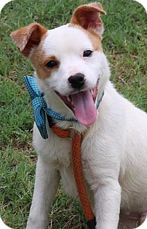 Jack Russell Terrier Mix Puppy for adoption in Lacey, Washington - Beckett