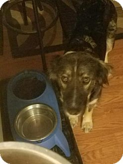 Australian Shepherd Mix Dog for adoption in Matthews, North Carolina - Aspen