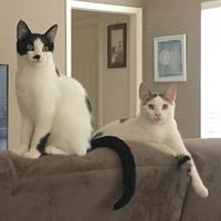 Domestic Shorthair/Domestic Shorthair Mix Cat for adoption in Schertz, Texas - Joanie LC
