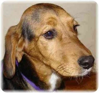 Beagle/Basset Hound Mix Puppy for adoption in Wyoming, Minnesota - Hope- Too Cute!