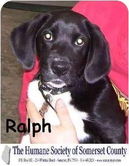 Labrador Retriever Mix Puppy for adoption in Somerset, Pennsylvania - Ralph