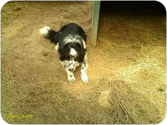 Border Collie Mix Dog for adoption in Emory, Texas - Jax