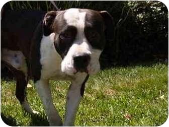 Pit Bull Terrier Dog for adoption in El Cajon, California - Arnie