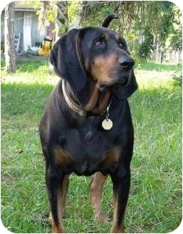 Black and Tan Coonhound Dog for adoption in Dallas, Texas - Duke