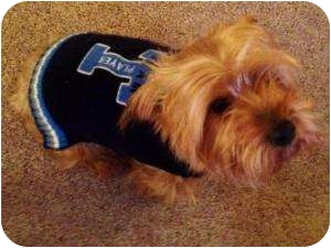 Yorkie, Yorkshire Terrier Mix Dog for adoption in Paris, Illinois - Thor