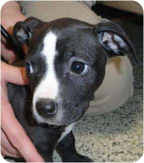 American Staffordshire Terrier Mix Puppy for adoption in Des Plaines, Illinois - Rosey