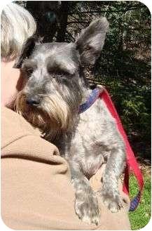 Schnauzer (Miniature) Dog for adoption in Brattleboro, Vermont - Zeke