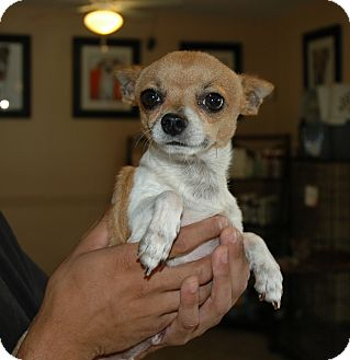 Chihuahua Dog for adoption in San Antonio, Texas - Moby