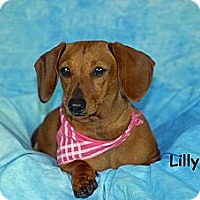 Adopt A Pet :: Lilly - Ft. Myers, FL