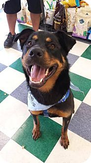 Rottweiler/Shepherd (Unknown Type) Mix Dog for adoption in Chicago, Illinois - Bradley