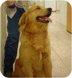 Golden Retriever Dog for adoption in Cleveland, Ohio - Gus