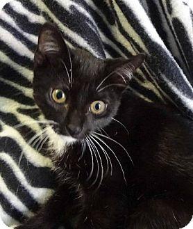 Domestic Shorthair Kitten for adoption in Jefferson, Texas - Jed