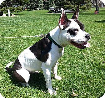 English Bulldog Mix Dog for adoption in Birmingham, Michigan - SKITTLES- PENDING ADOPTION!!!