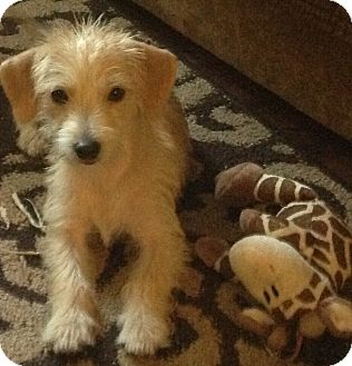 Cairn Terrier/Parson Russell Terrier Mix Puppy for adoption in Palatine, Illinois - Chloe