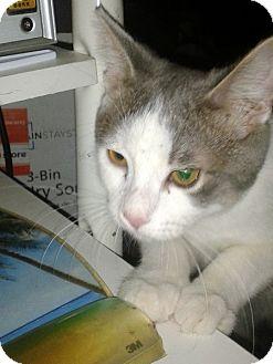 Domestic Shorthair Kitten for adoption in Las Vegas, Nevada - Claudio