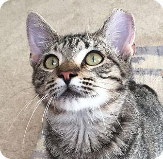 Hemingway/Polydactyl Kitten for adoption in Worcester, Massachusetts - Eclipse