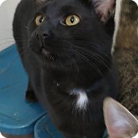 Adopt A Pet :: Cyrus - Geneseo, IL
