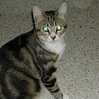 Domestic Shorthair Cat for adoption in Naples, Florida - Curtis
