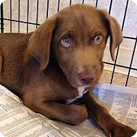 Adopt A Pet :: Chocolate boy - Pompton Lakes, NJ