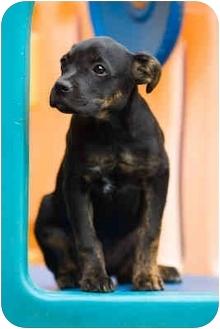 Rottweiler Mix Puppy for adoption in Portland, Oregon - Hudson