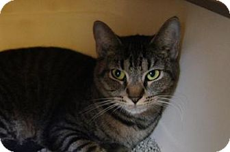 Domestic Shorthair Cat for adoption in New Milford, Connecticut - Aretha